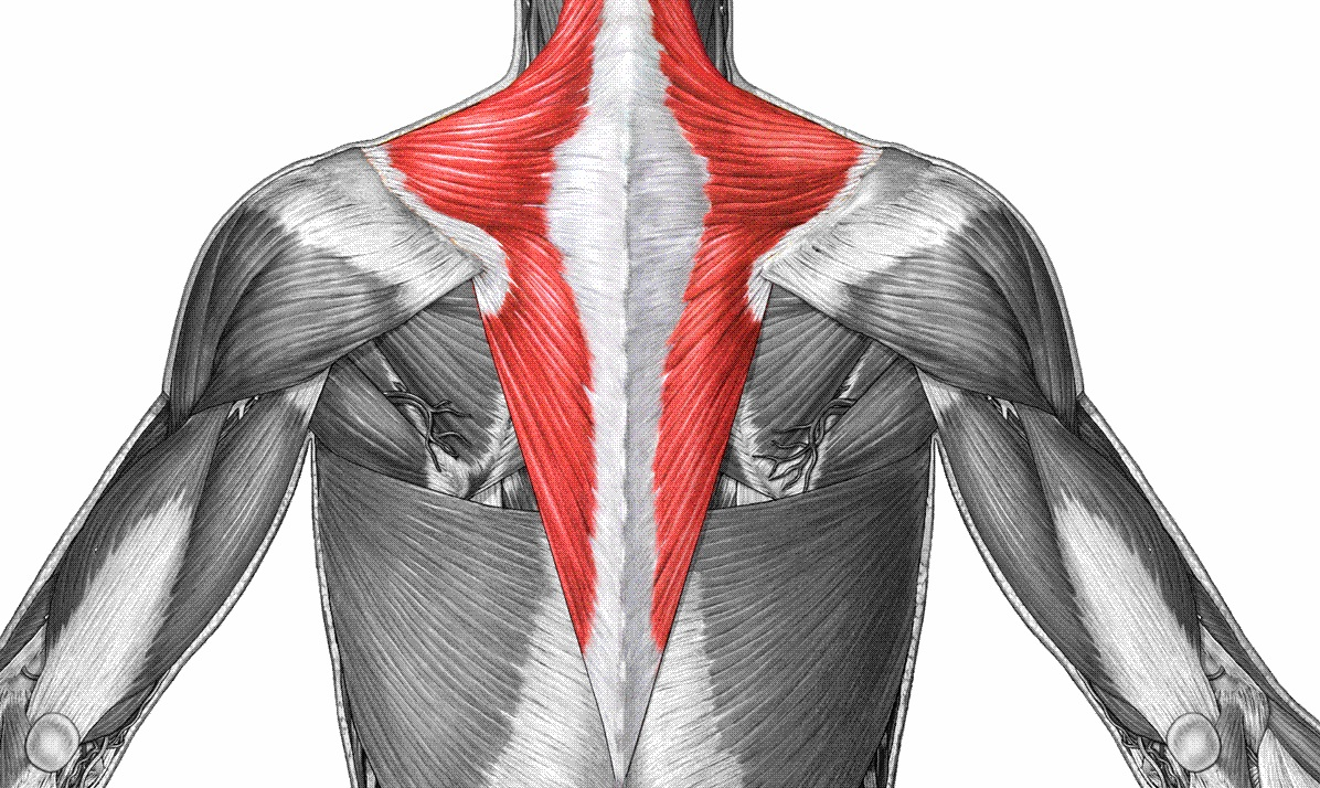 How To Build Your Trapezius Muscle